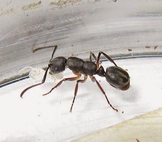 Echinopla ant
