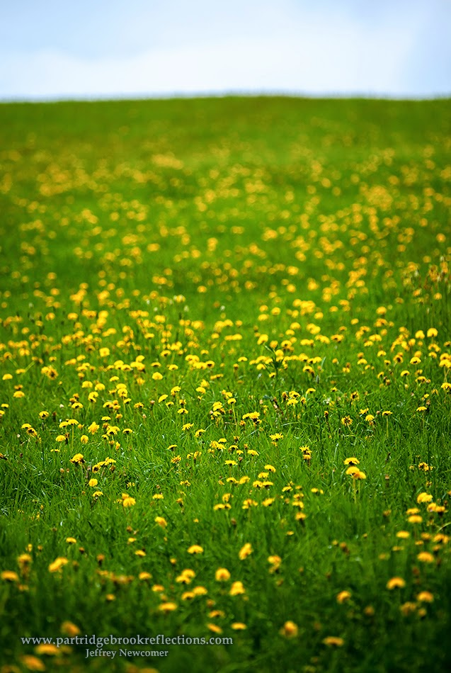 dandelion, yellow pasture