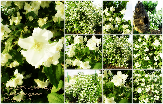 """Philadelphus coronarius (sweet mock-orange, English dogwood) is a species of flowering plant in the family Hydrangaceae, native to Southern Europe. It is a deciduous shrub growing to 3 m (10 ft) tall by 2.5 m (8 ft) wide, with toothed leaves and bowl-shaped white flowers with prominent stamens. In the species the blooms are abundant and very fragrant, but less so in the cultivars.   Philadelphus coronarius The specific epithet coronarius means ""used for garlands"""