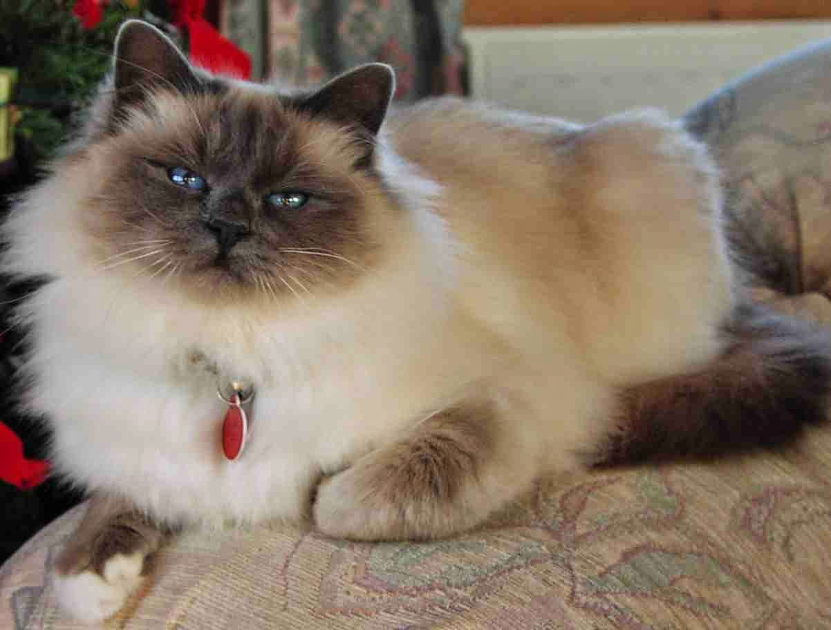 Cat Lucky Birman Cat Breed