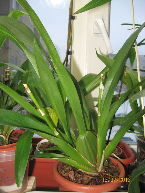 Камбрия Jungle Monarch - вид самого старшего побега