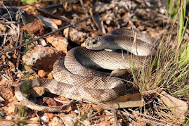 RIVER HOUSE CREATURES: The Pine Snake