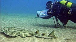 Signatures: The Canary Islands is a sanctuary of Sharks and Rays