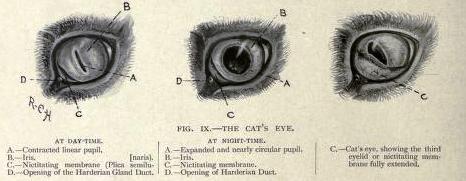 Cat eye anatomy