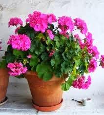 Lindos gerânios cor de rosa.Um vasinho charmoso!