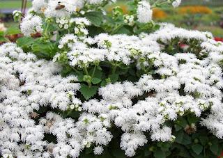 Beautiful White Ageratum Houstonianum