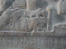 Bovidé aux pattes et museau liés, mis à terre. (détail.)