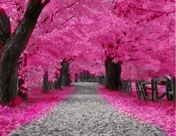 dp bbm bunga sakura
