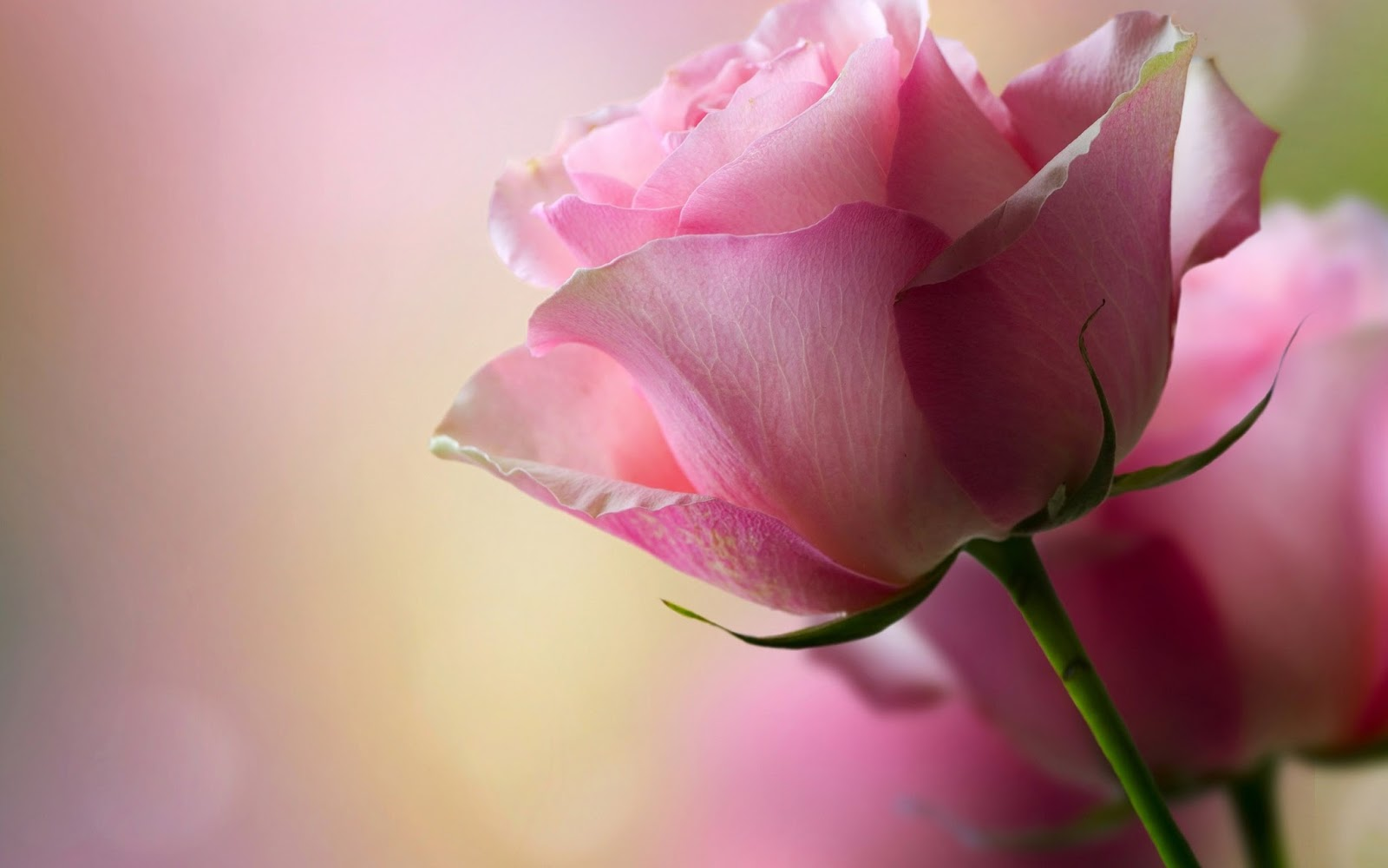 Beautiful Pink Rose Widescreen HD Wallpaper