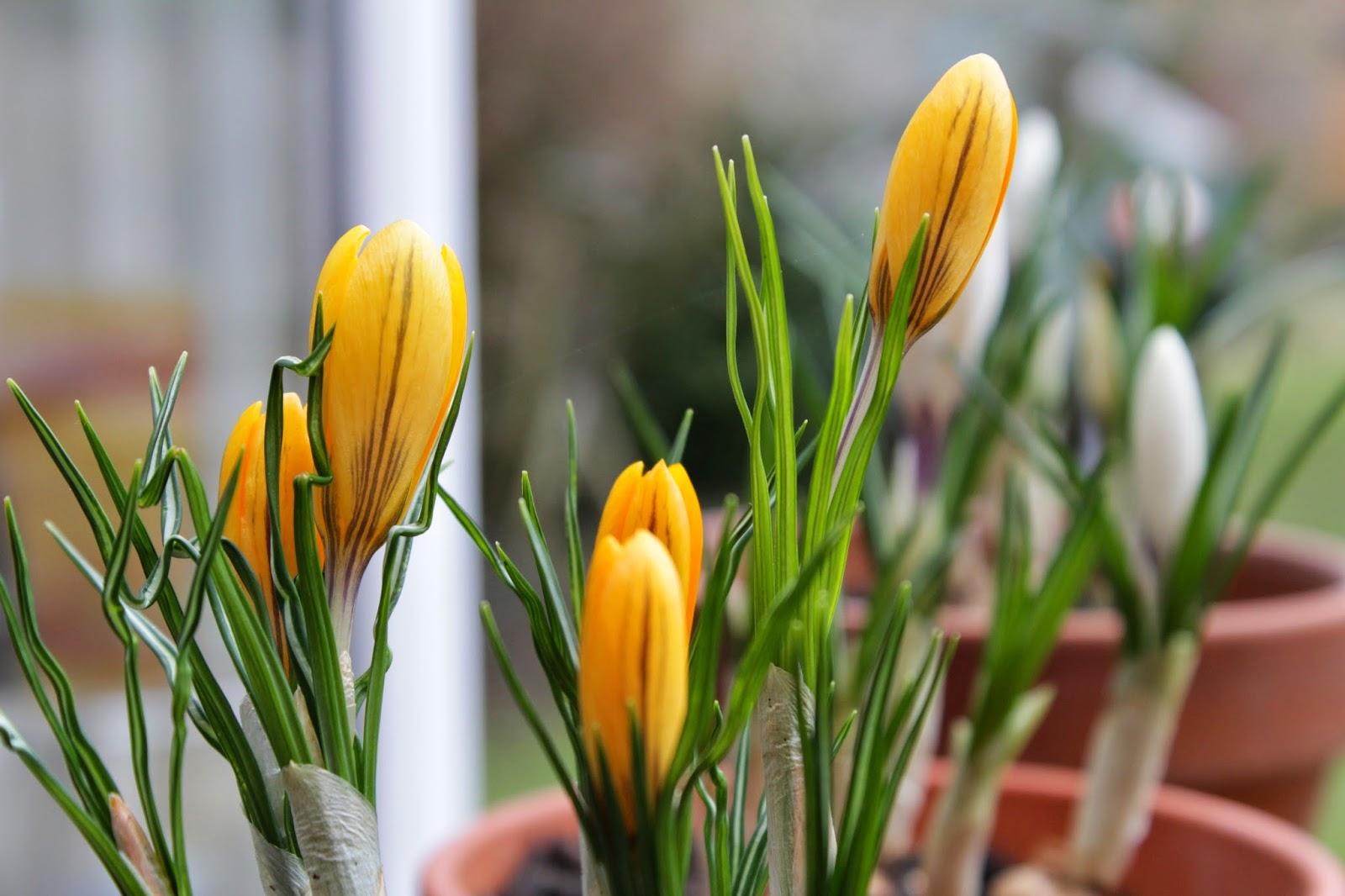 Yellow Crocuses // 76sunflowers