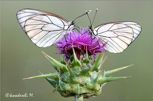 alıç kelebekleri ve diken