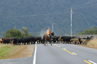 Cattle crossing the road near Haast, New Zealand