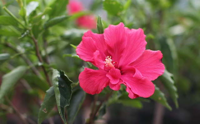 Hibiscus Flowers Pictures