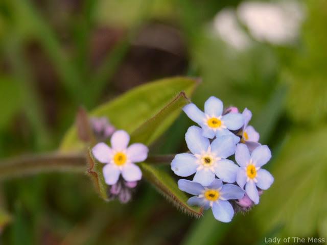 kevätkaihonkukka, kukka, flower, nature, luonto