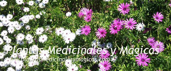 Plantas Medicinales y Mágicas
