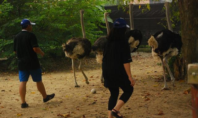 Port Dickson Ostrich Show Farm Makan Sate Burung Unta