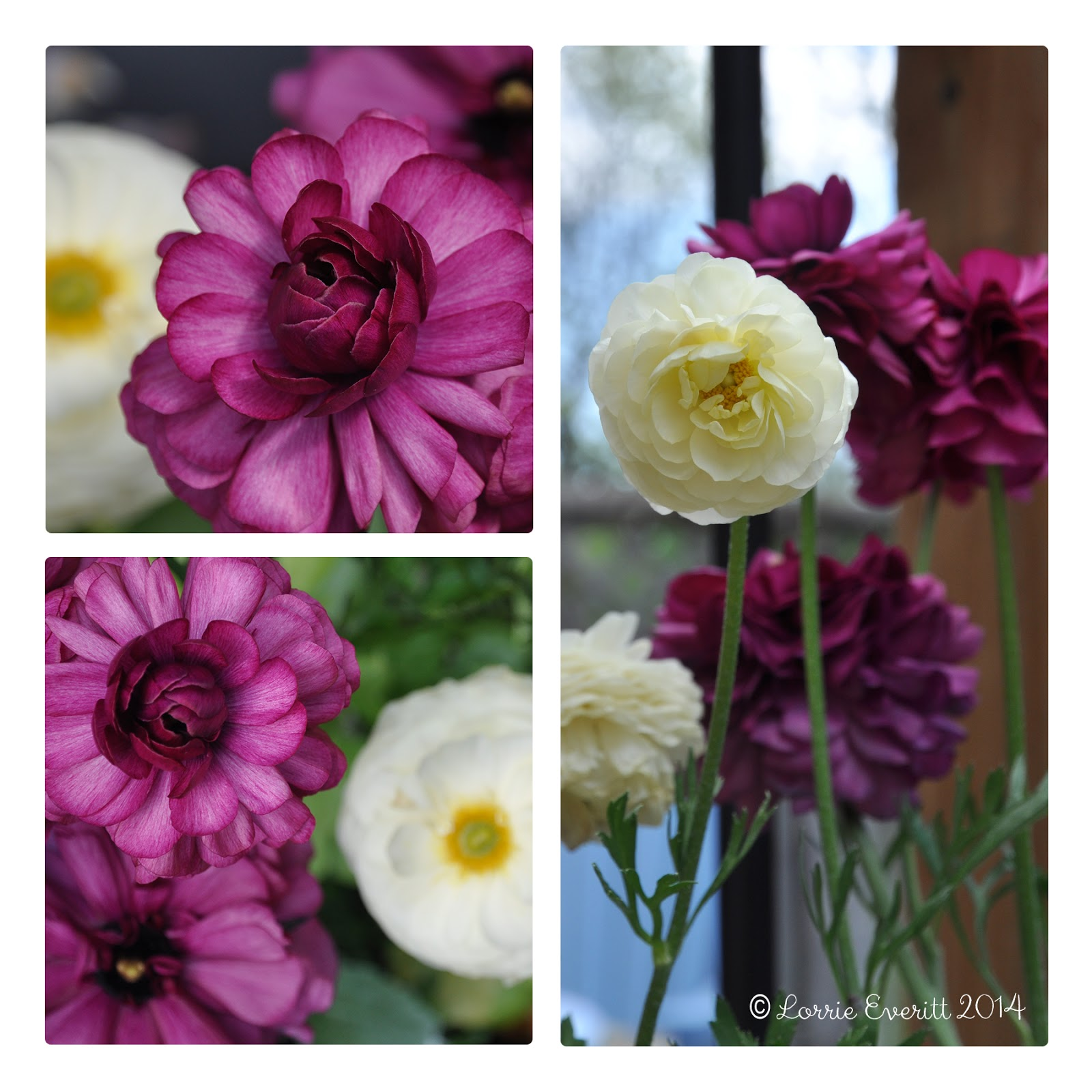 ranunculus photos by Lorrie Everitt