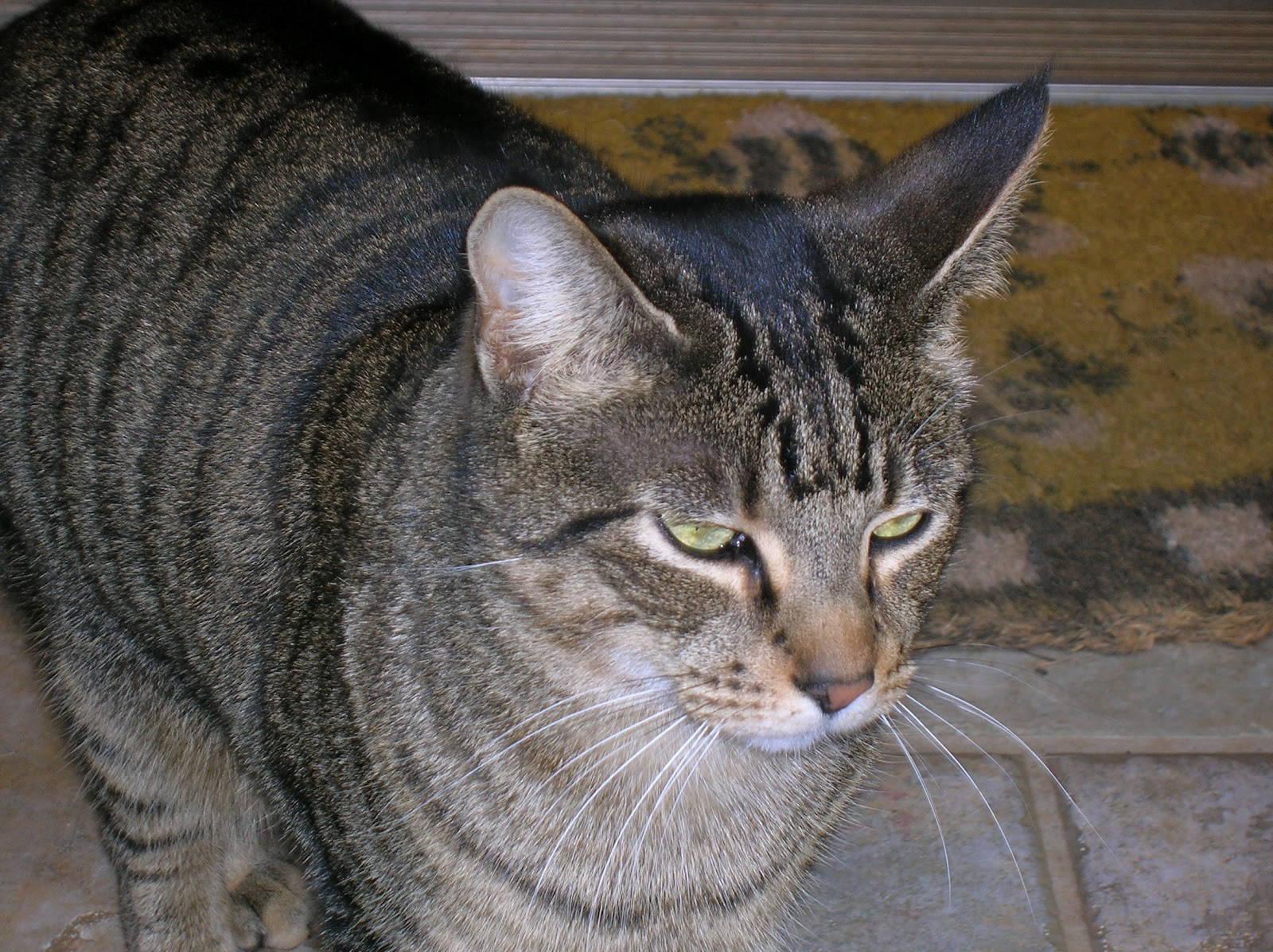 My Top Collection: Tabby cat pictures Tabby Cat