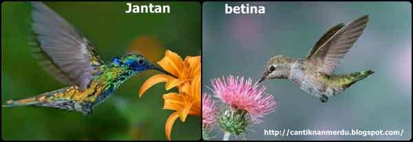 Kolibri Lebah - Jenis Burung Kolibri Yang Terkenal