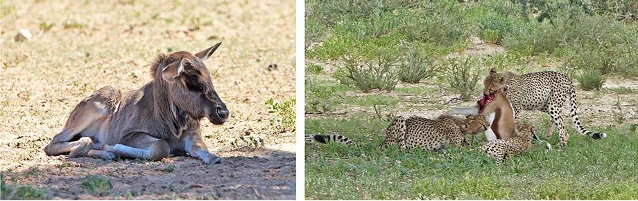 Ynas Reise Blog | Im Kgalagadi Transfrontier National Park | Baby Gnu und Geparden bei der Mahlzeit