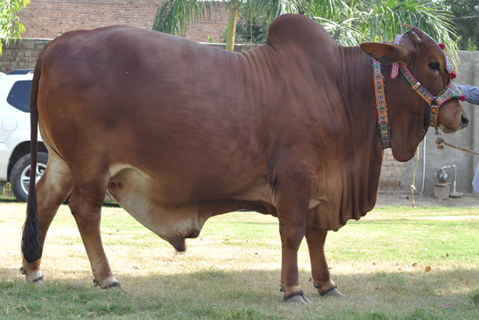 my animals: ali cattle house bulls and bacharia of 2011 | 672 x 449 png 489kB
