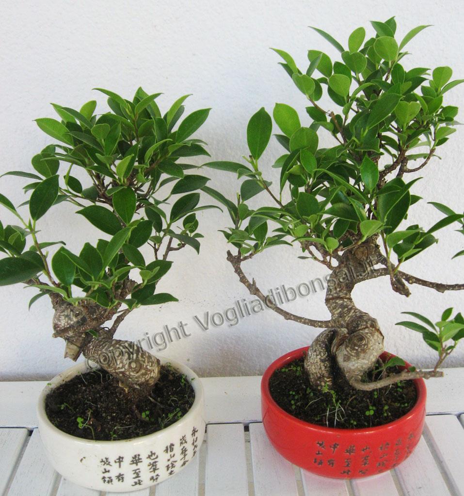 Parentesi wedding blog bonsai per bomboniera for Vasi per bonsai prezzi