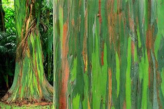 Eucalyptus Deglupta, Pohon Pelangi Yang Unik