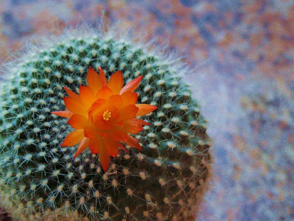 Cactus images