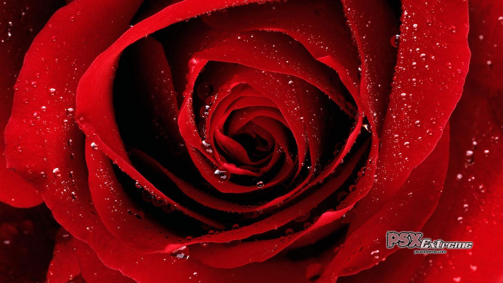 Red Rose Pictures Rose Wallpapers