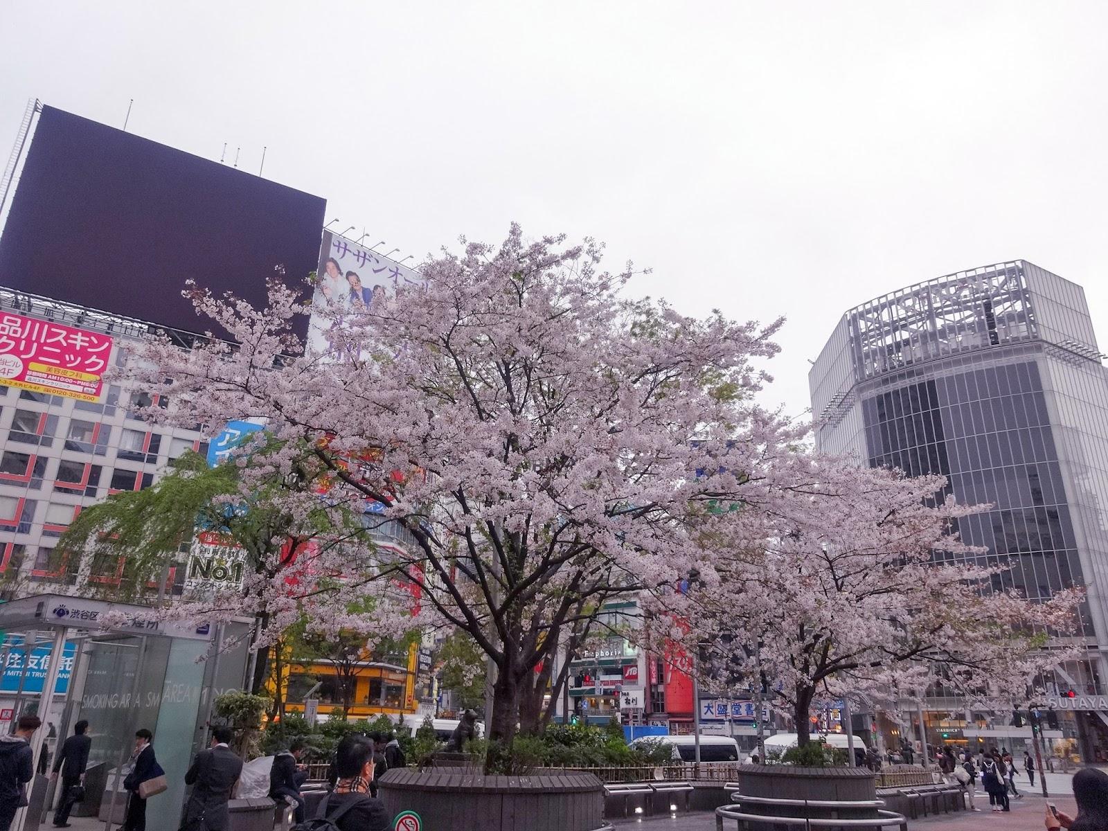 桜,渋谷ハチ公前〈著作権フリー画像〉Free Stock Photos