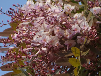 Flores Sucupira