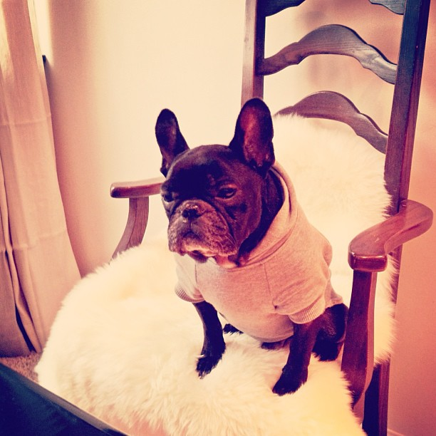 french bulldog on chair