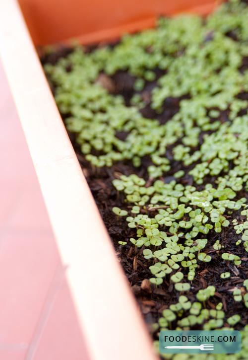 Orto sul balcone: come riconoscere il timo (se non ricordate di averlo seminato).