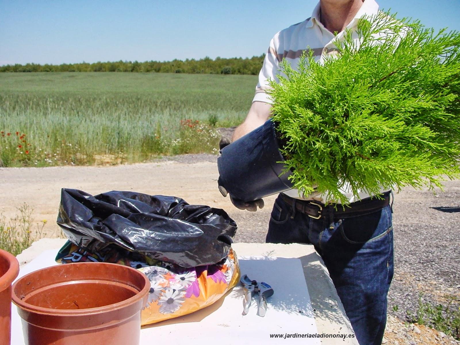 Jardineria eladio nonay trasplante planta jardiner a - Jardineria eladio nonay ...