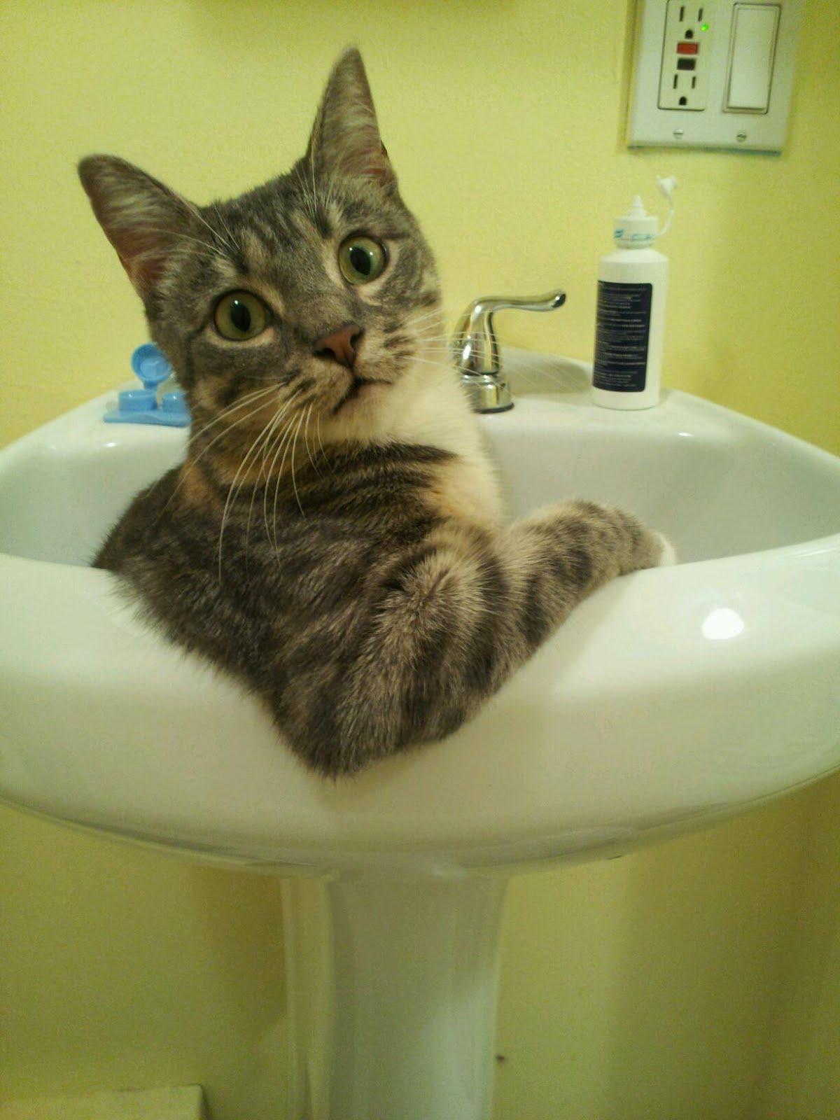 Кот с выпученными гразами сидит в раковине - прикольные коты 22-11-12