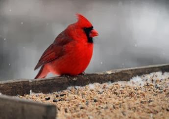great-backyard-bird-count