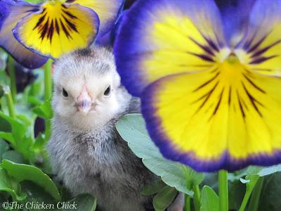 Columbian Wyandotte chick.