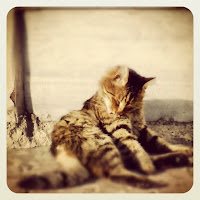 Long Fur Tabby Cat Stray