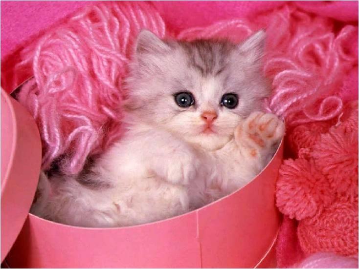 Dandan Anak Kucing