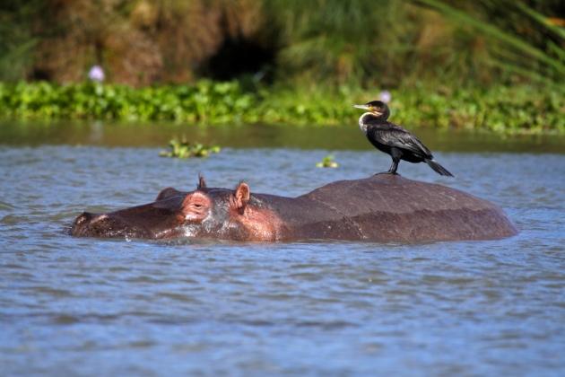 EL PORQUE DE LA CIENCIA | ?Por que los hipopotamos sudan rosa ...
