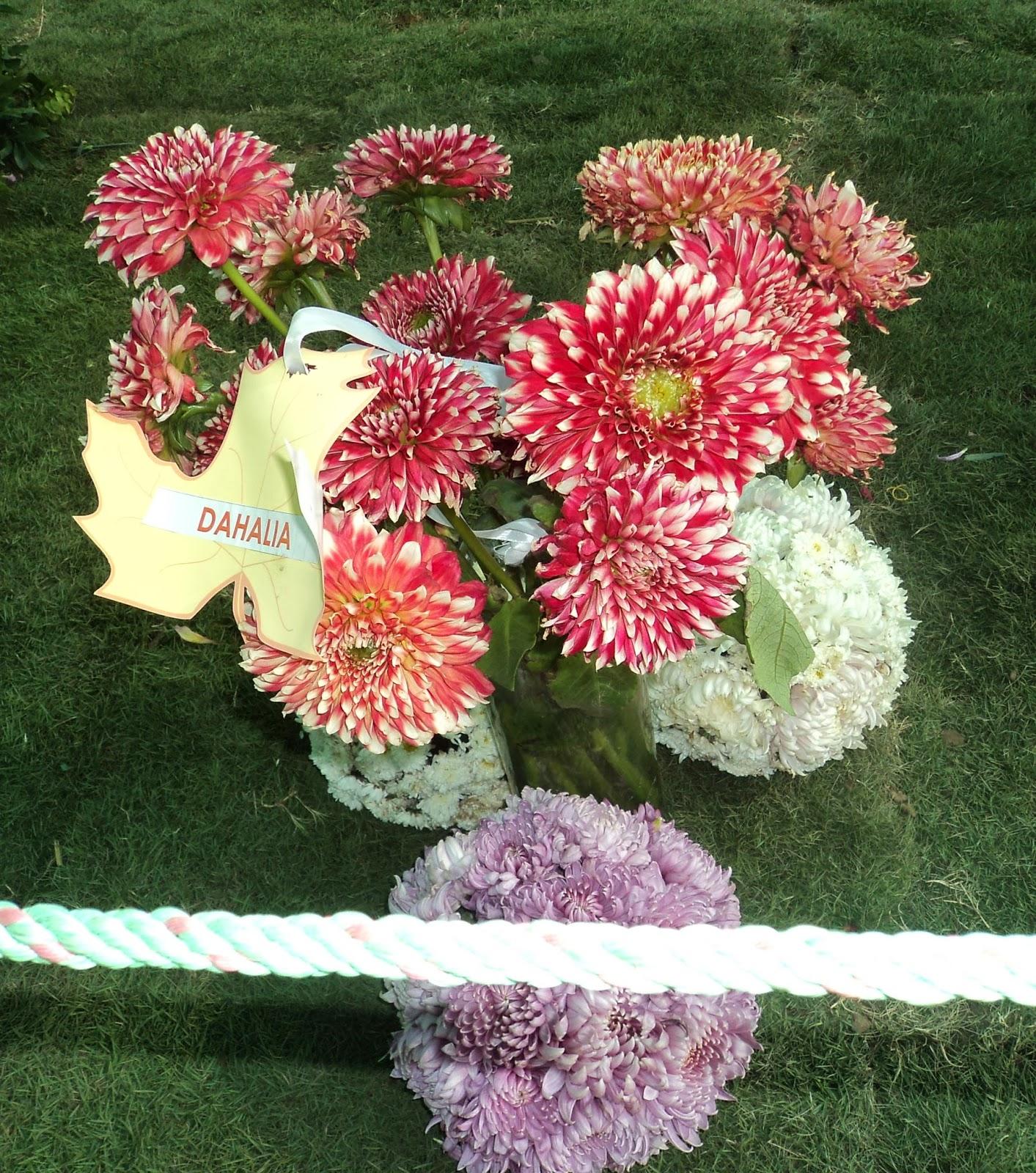dahlia flower ahmedabad
