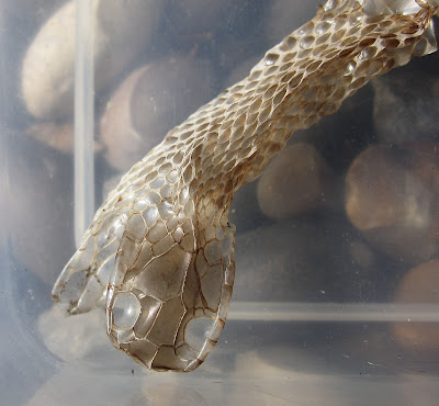 The head end of the cast skin of an adder, Vipera berus. 14 May 2011.