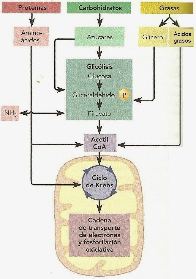 Sustratos alternativos para la respiración en los vegetales ...