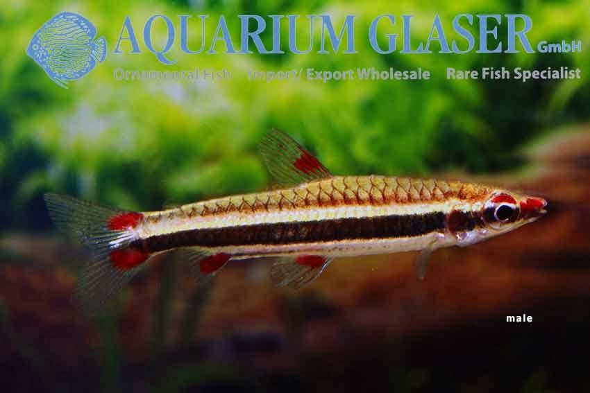 Nannostomus nigrotaeniatus