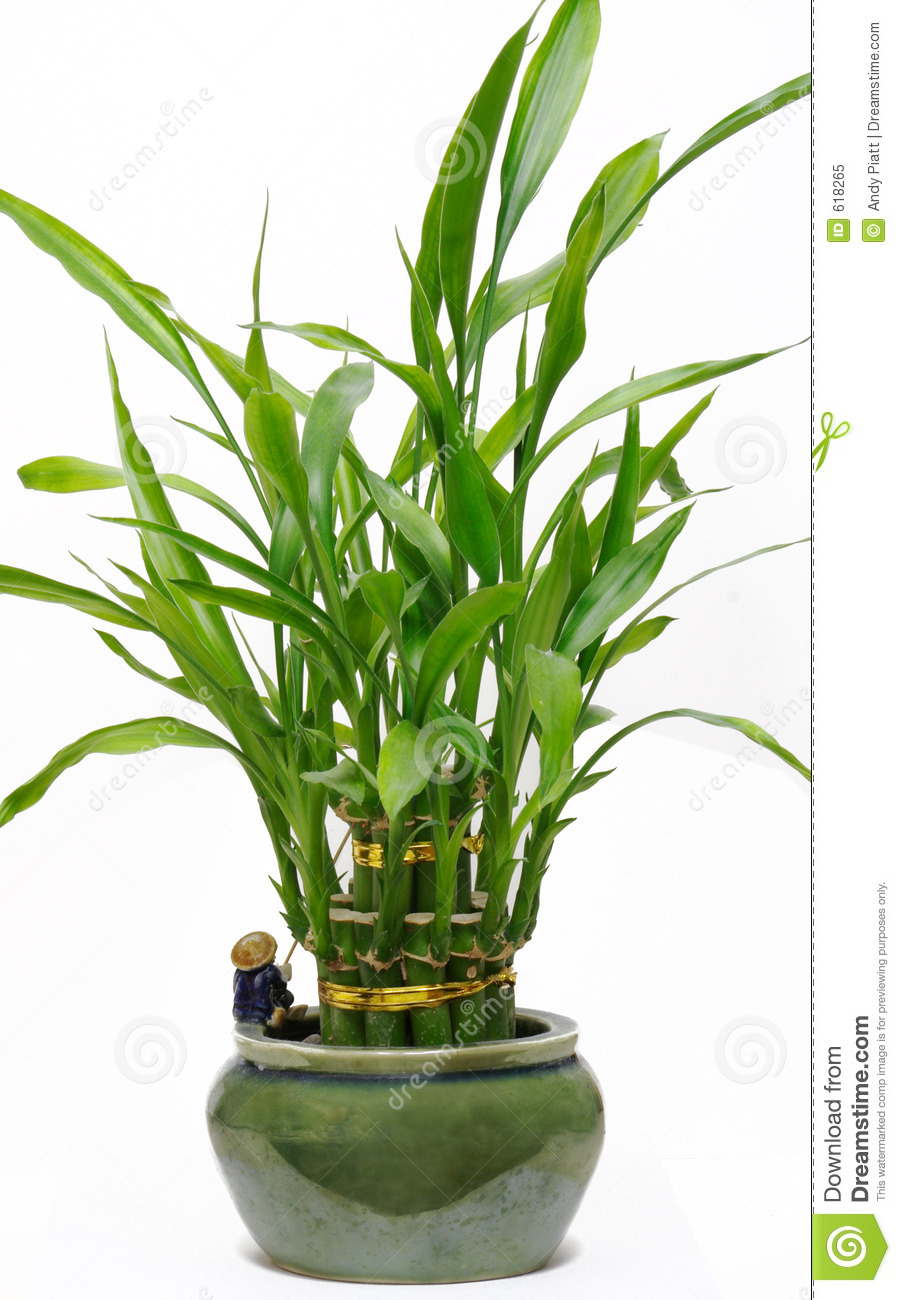 ... bamboo house plants learn how to grow and maintain bamboo indoors