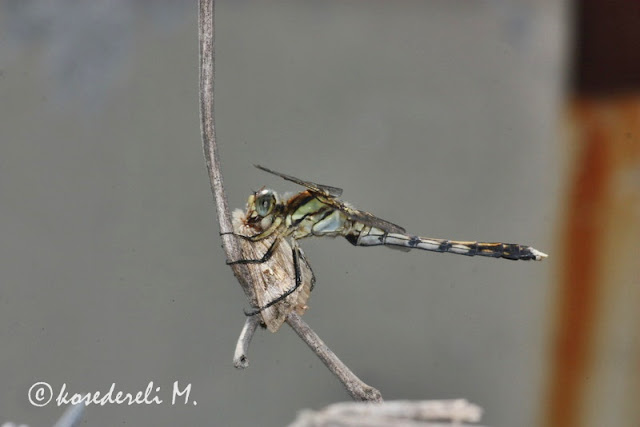 yusufçuk böceği avlanırken