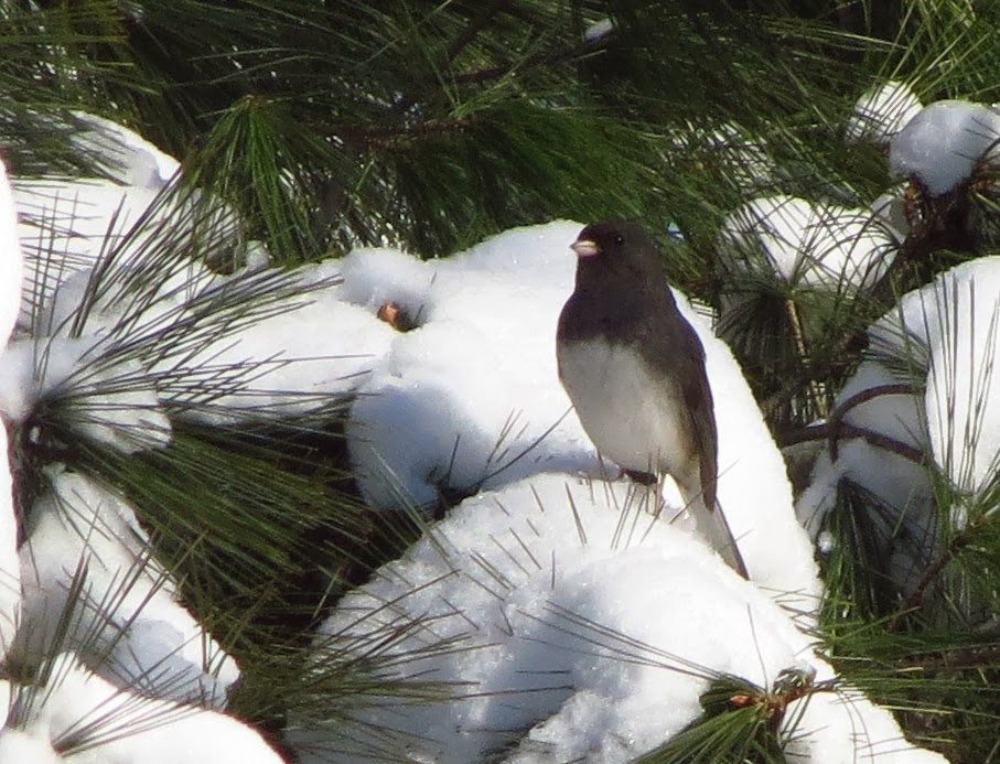 junco in snow on white pine