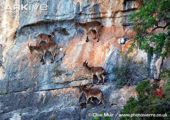 Características, alimentação, reprodução e distribuição da Cabra-montês (capra ibex)
