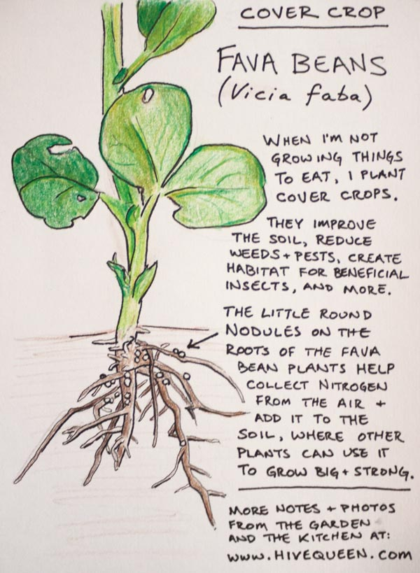 Illustration and sign for Cover crop: Fava Beans (vicia faba)