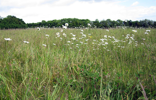 The meadow at Darrick Wood, showing how much of it is not grass.  22 May 2011.